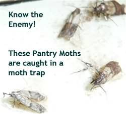 Identify Pantry Moths