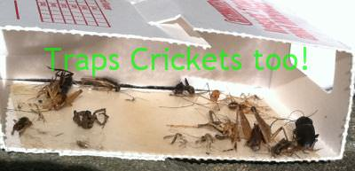 Catchmaster Spider Traps catch crickets too!