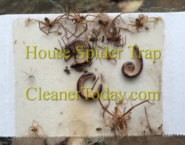 Brown Recluse Spider Pictures from Little Rock