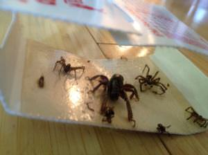 Catchmaster Spider Trap Picture