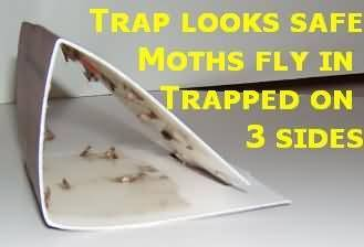 Indian meal moth traps