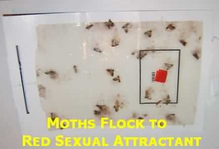 Attractant tricks males moths