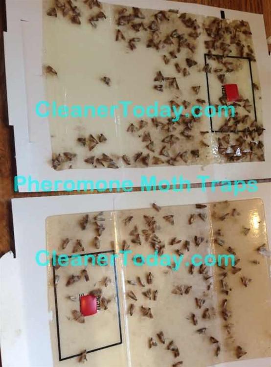 Flour Moth Trap (2 flour moth traps)